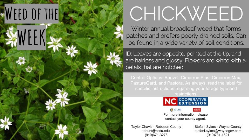 Picture of Chickweed