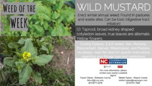 Wild Mustard weed