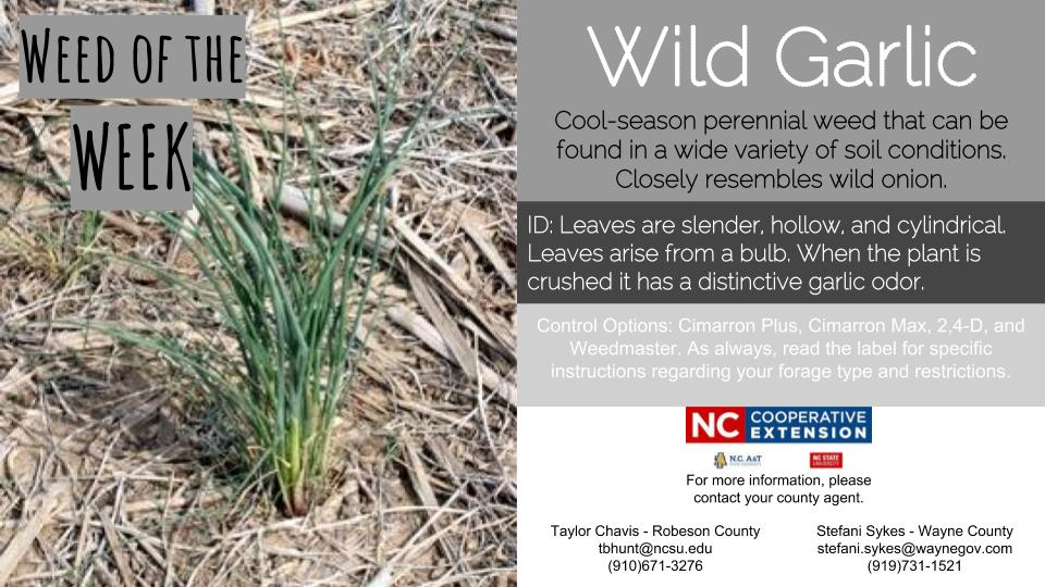 Weed of the Week: wild garlic poster