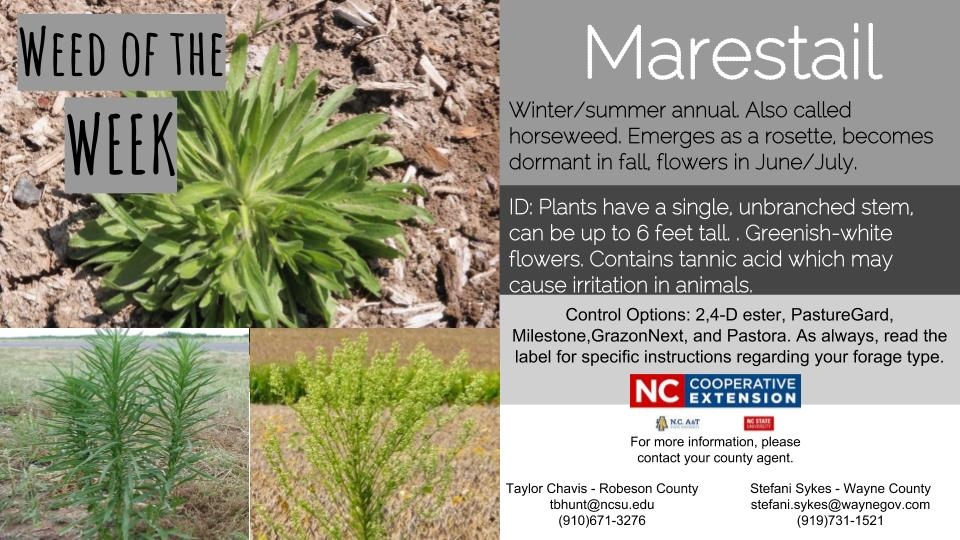 Marestail weed