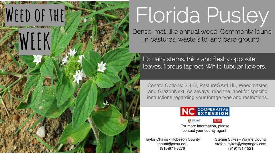 Florida Pusley weed