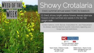 Showy Crotalaria