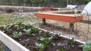 Greens in Raised Bed Garden