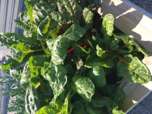Swiss Chard in Raised Beds