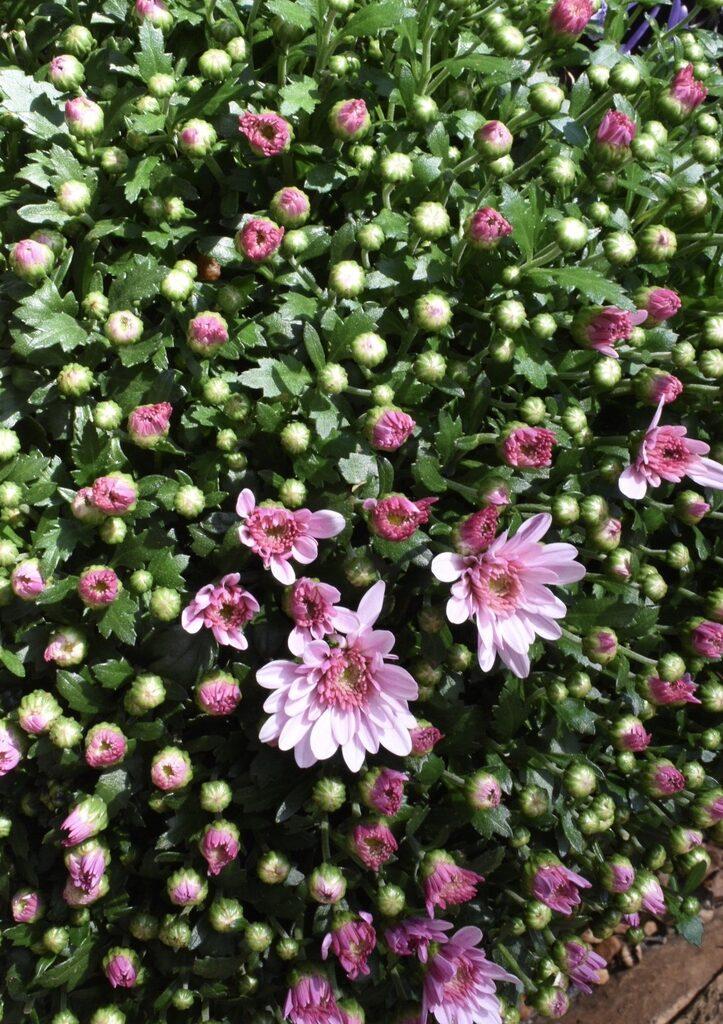 Chrysanthemum blooming