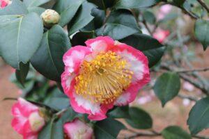 Camellia_japonica Higo Ohkan