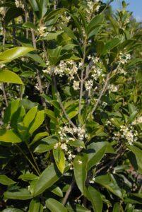 Osmanthus fragrans (Tea Olive)
