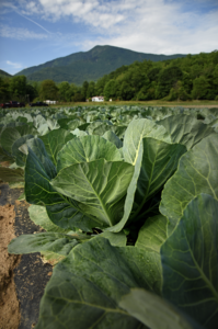 Image of cabbage in the field with mountains in background