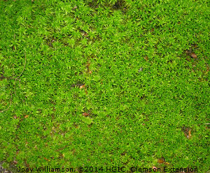 Moss in Lawn, Clemson Extension @2014
