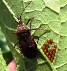 Squash Bugs and Eggs